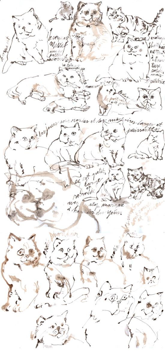 cats amer shorthair