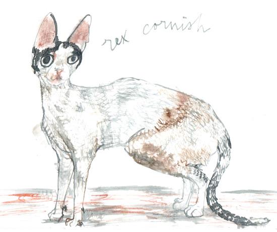 cats rex cornish
